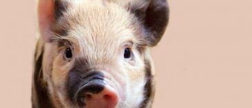 pot belly pig names
