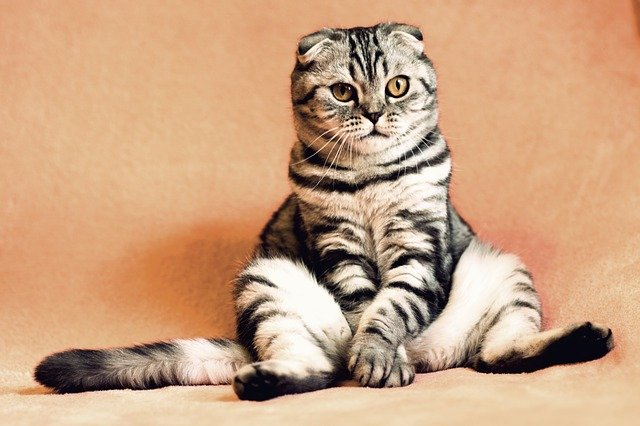 chinese-male-cat