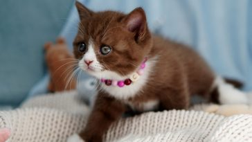 female-chocolate-cat