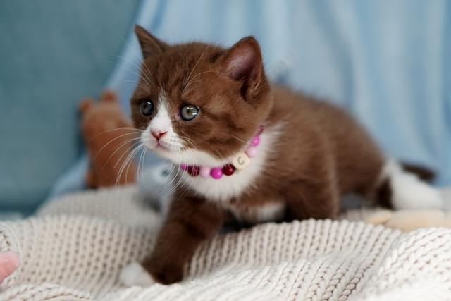 female-chocolate-cat