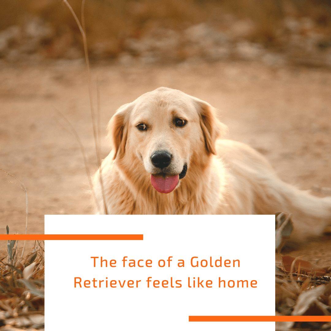 face-of-golden-retriever