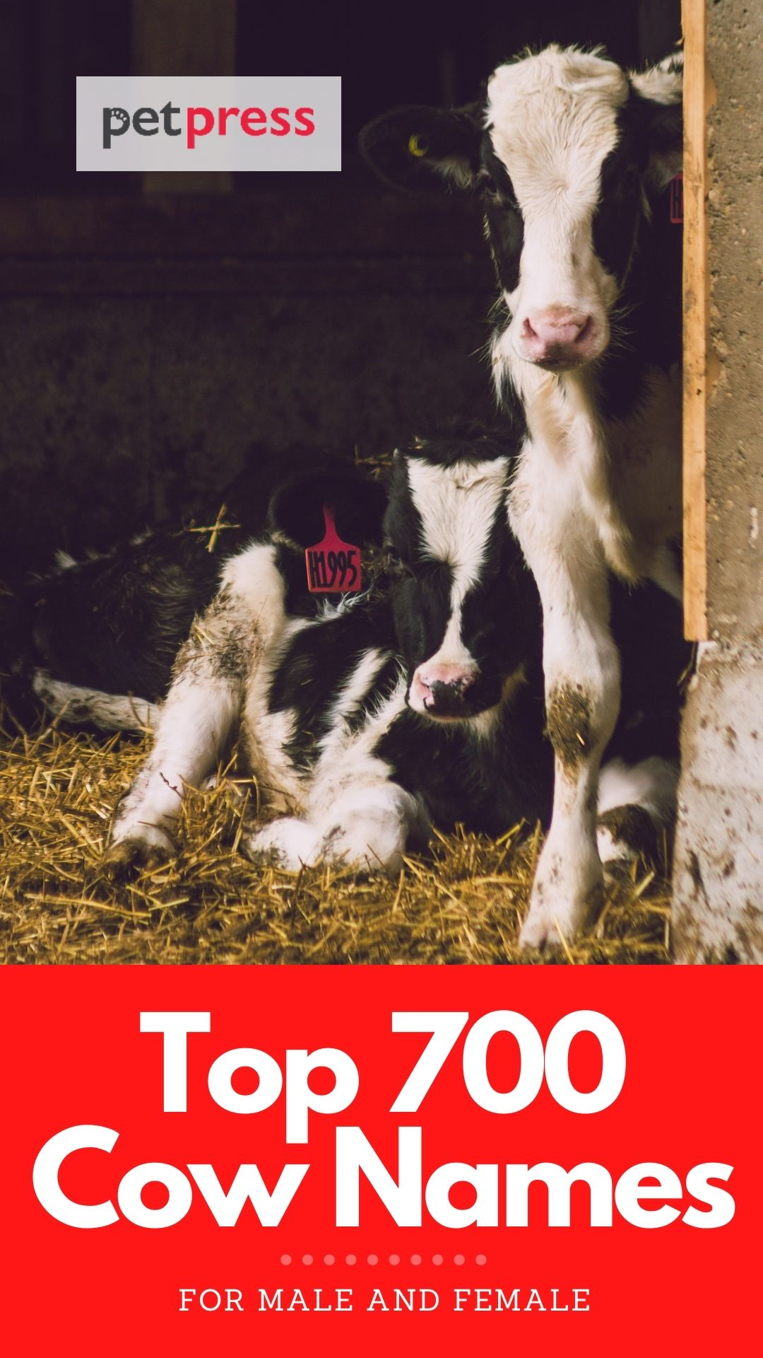 best cow names for naming a cow
