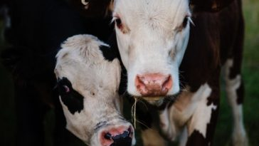 cow names for naming a black and white cow