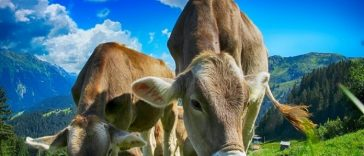brown cow names for naming a cow