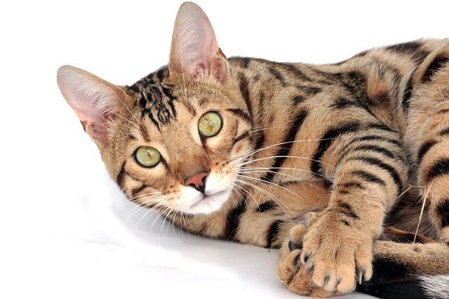 male-bengal-cat-names