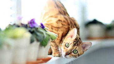 female-bengal-cat-names