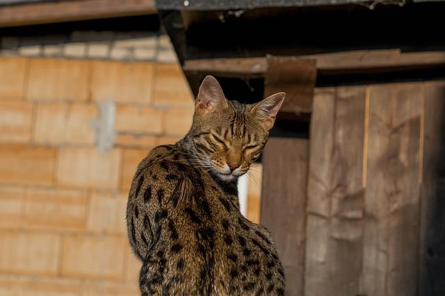 famous-bengal-cat-names