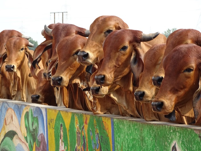 indian cow names