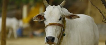 indian cow names for naming a cow