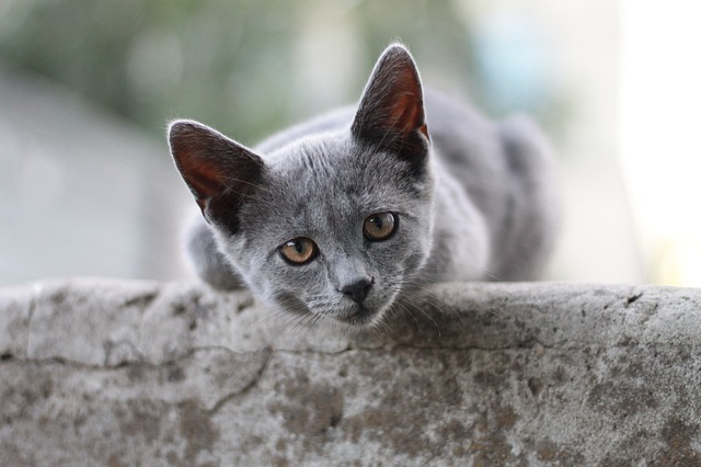 unisex-bengali-cat-names