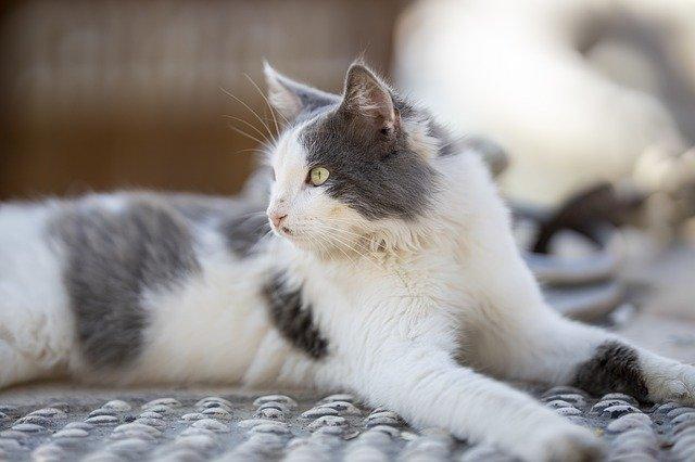 male-kannada-cat-names