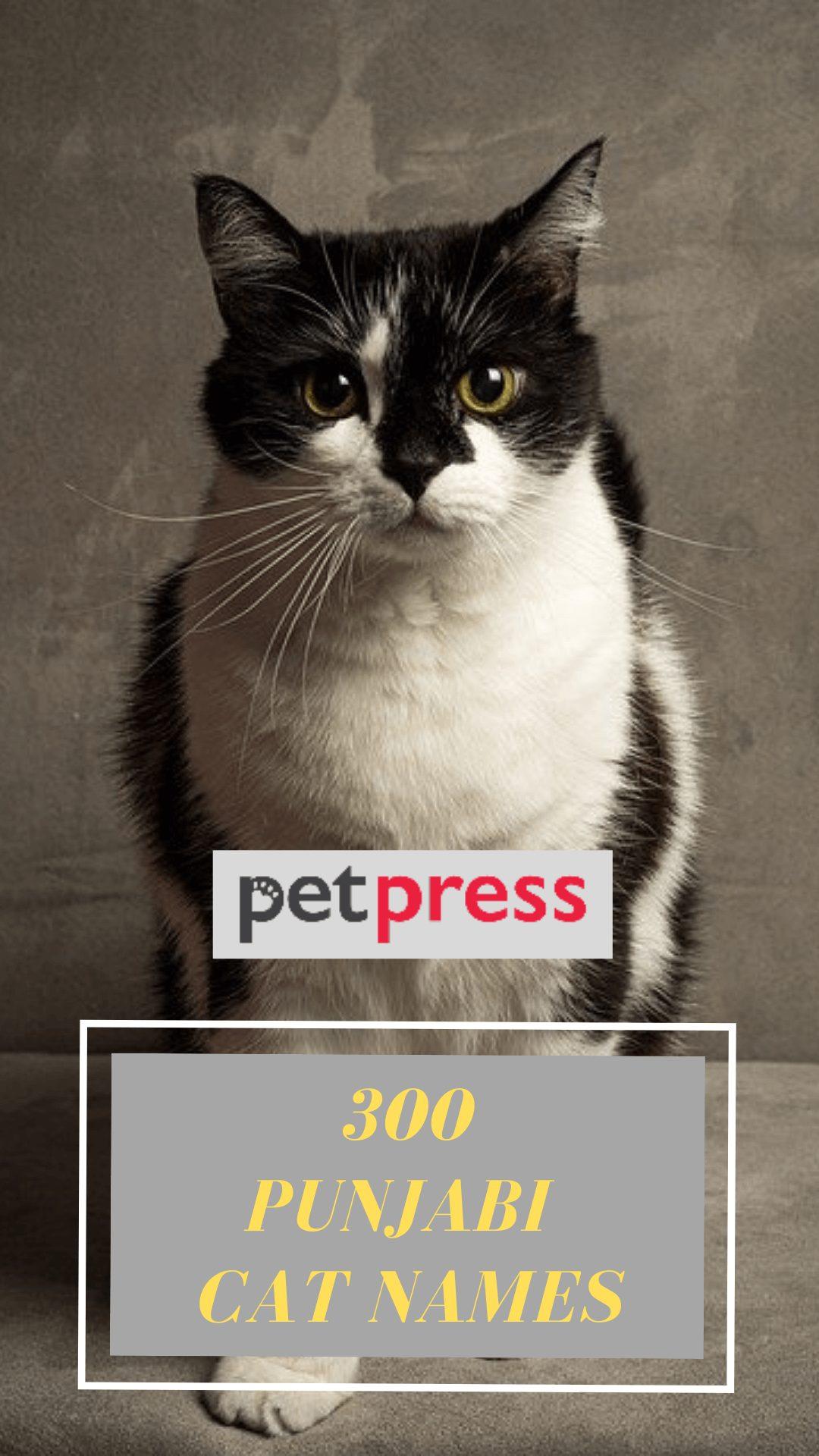 punjabi-cat-names