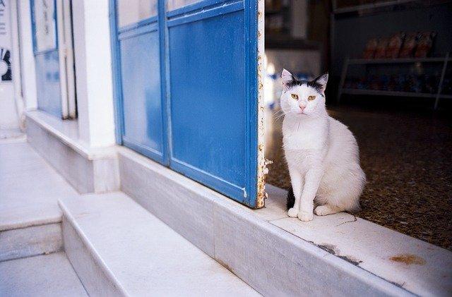 female-punjabi-cat