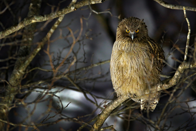 japanese owl names 2