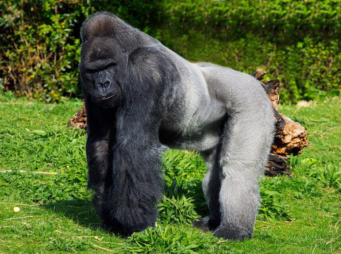 best gorilla names