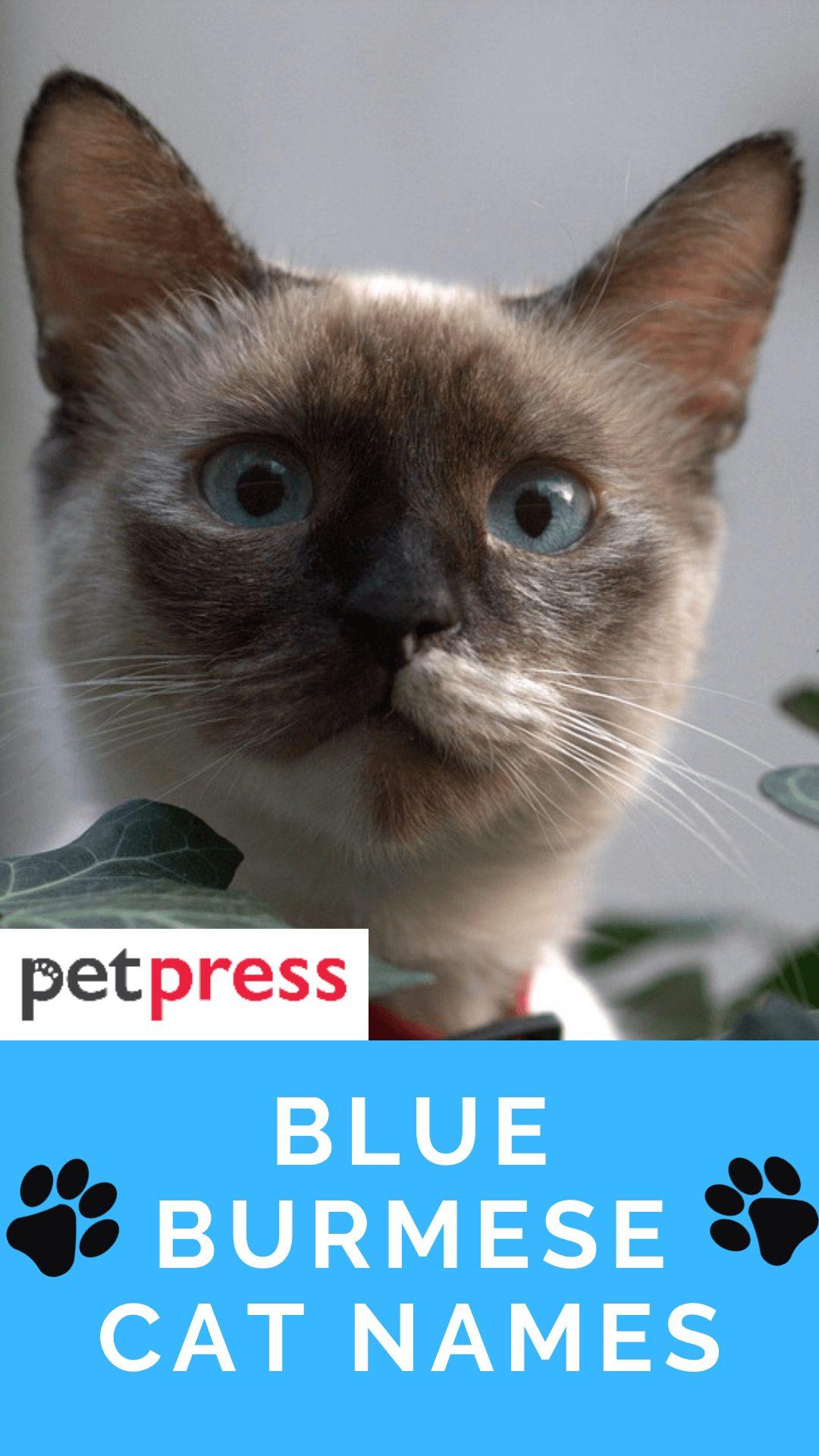 blue-burmese-cat-names