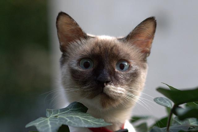 male-blue-burmese-cat-names