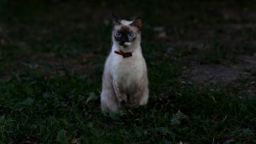 female-blue-burmese-cat-names