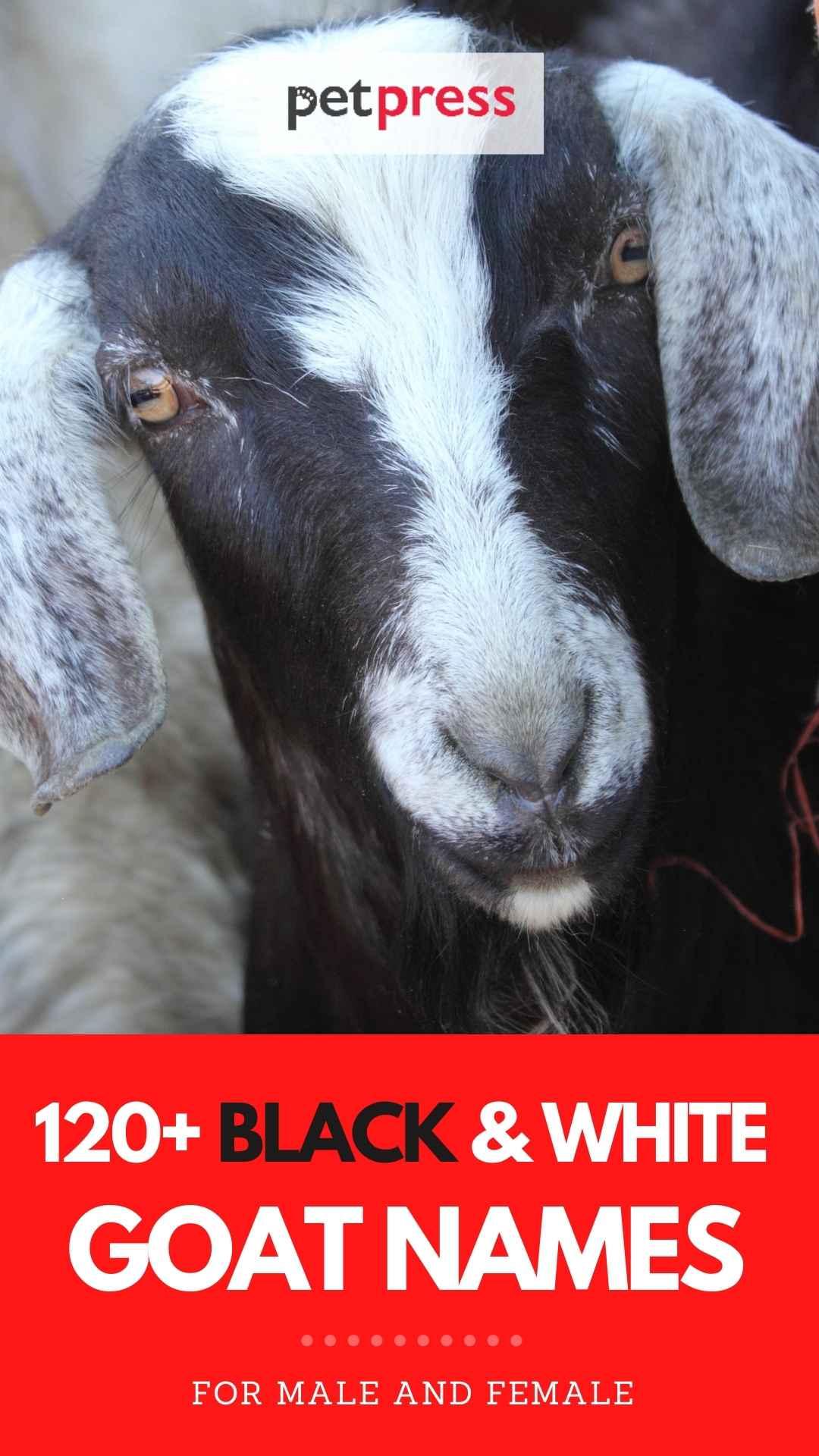 black & white goat names