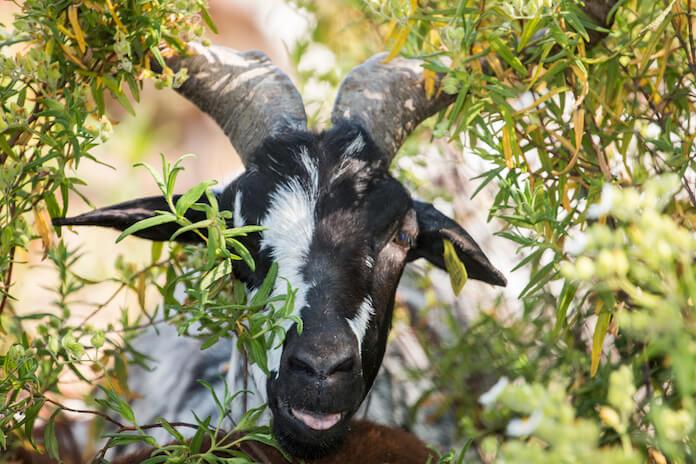 black and white goat names | petpress