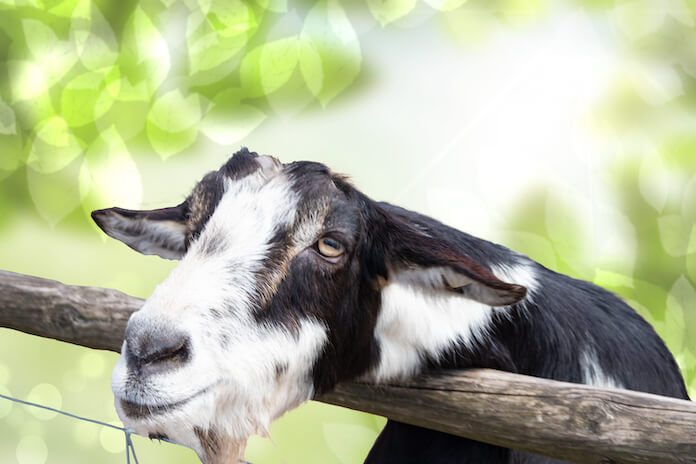 other black and white goat names