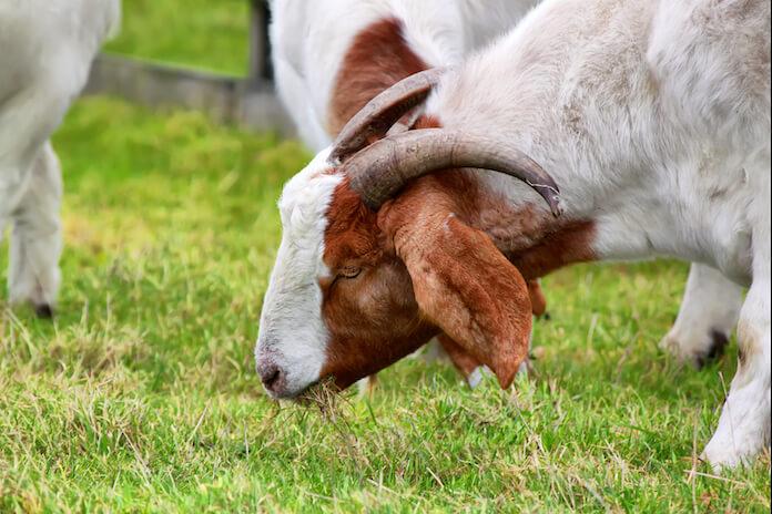 boer goat names