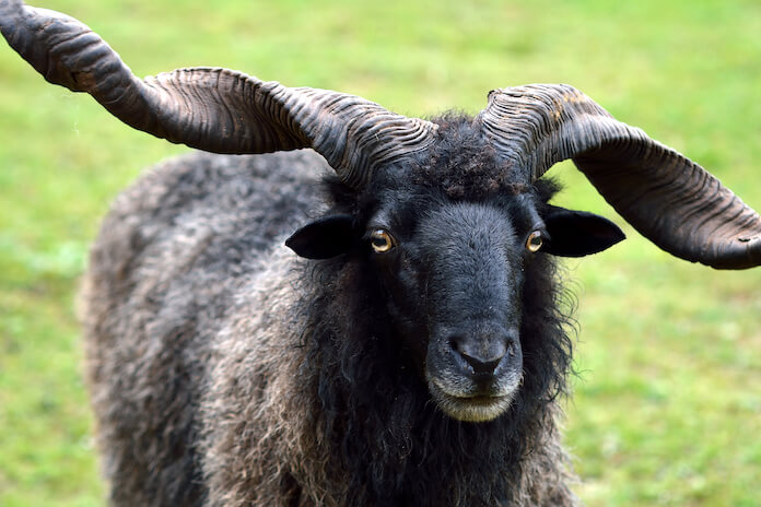buck goat names for an adult male goat