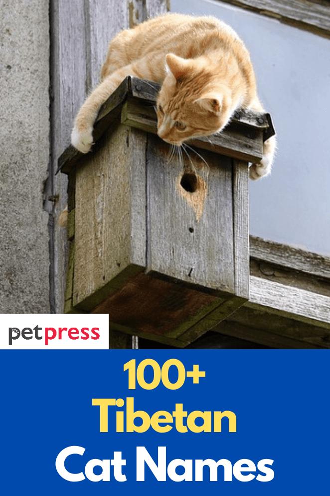 tibetan-cat-names