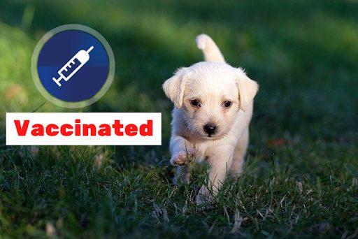 puppy-vaccination