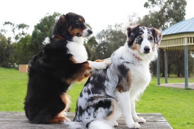 registered-dog