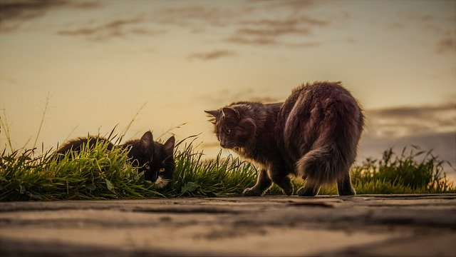 majestic-cat