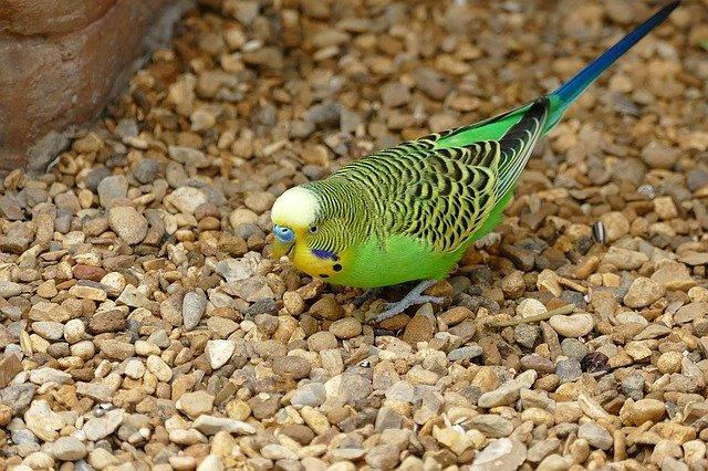 unusual-parakeets-bird-names