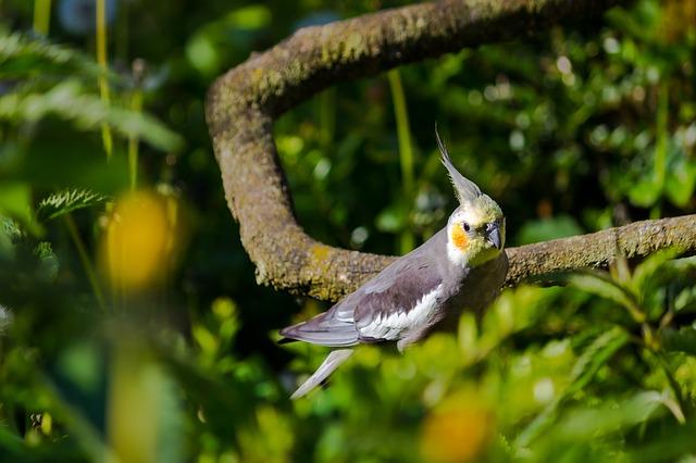 unusual-cockatiels-bird-names