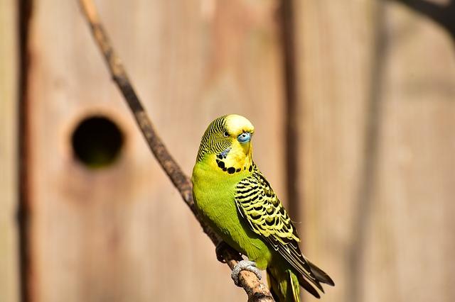 unisex-parakeet-bird-names