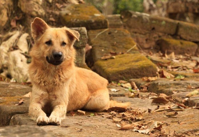 Female Cambodian Dog Names
