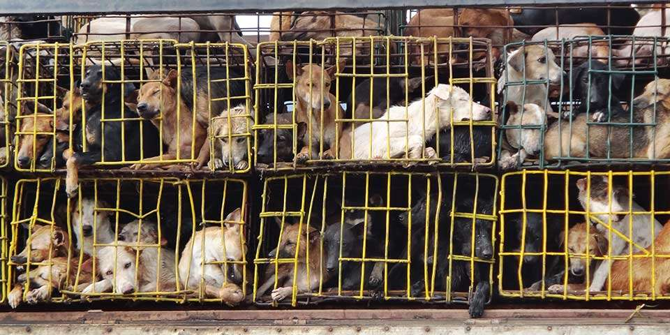 How Dog Meat Trade Started in South Korea