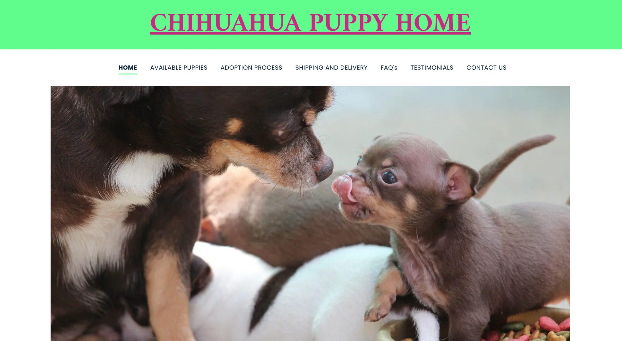 chihuahua-puppy-01