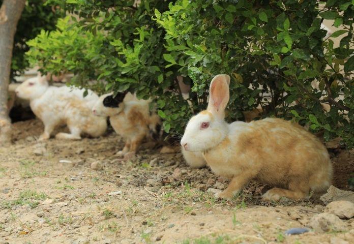 Male Kannada Rabbit Names