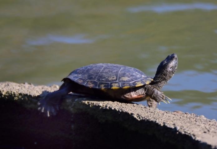 Female Japanese Names for a Tortoise