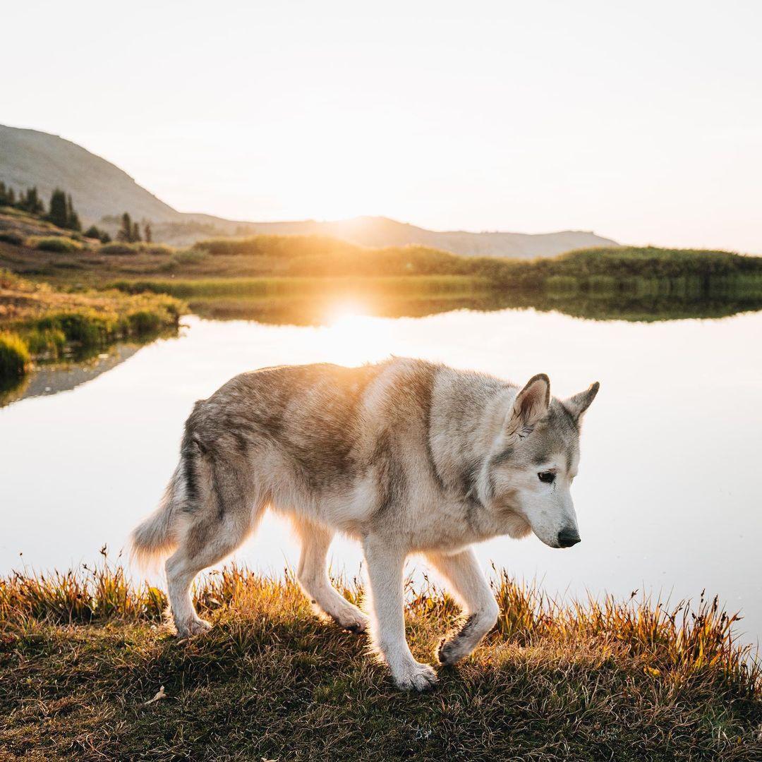 loki-the-dog
