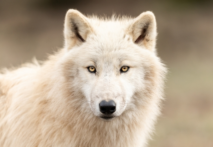 Male White Wolf Names