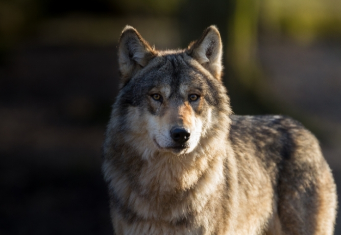 Female Names that mean 'Wolf'