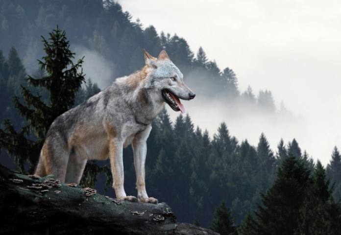 Male Names that mean 'Wolf'