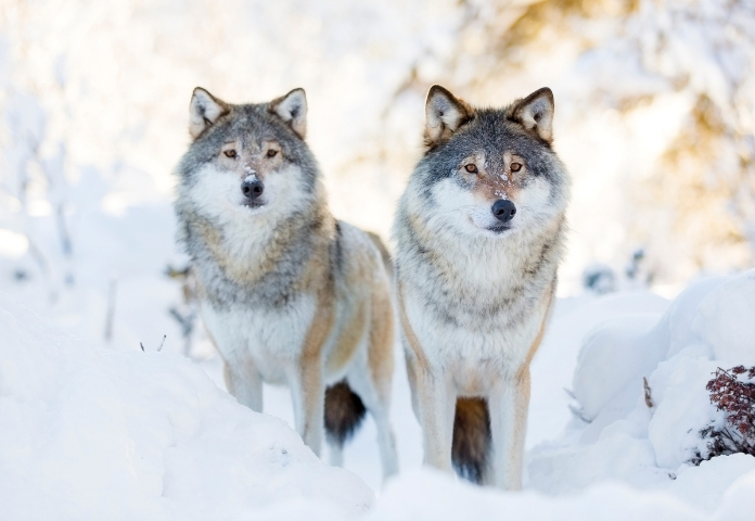 Unisex Names that mean 'Wolf'