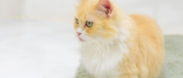 I Was Shocked to Hear Vets Considered Munchkin Cats Disabled!