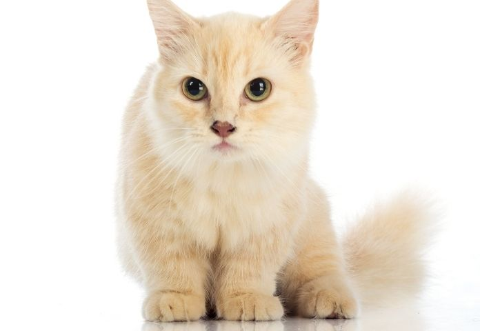 Why Vets Consider Breeding Munchkin Cats Cruel?