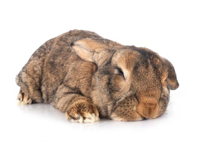 Best Giant Rabbit Names