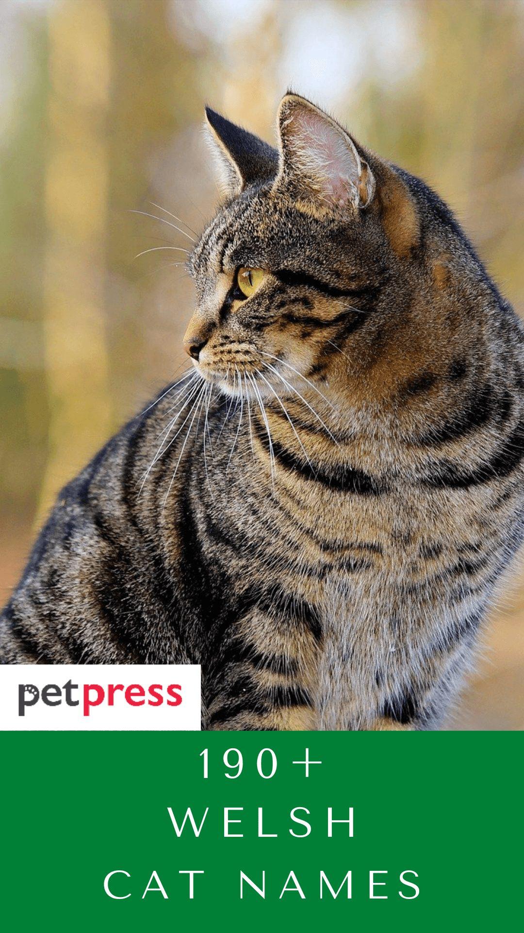 welsh-cat-names