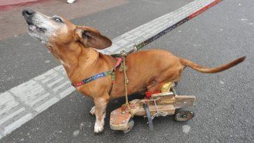 paralyzed-pets
