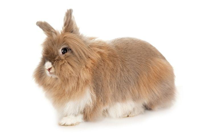 Female Lionhead Rabbit Names